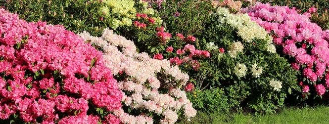 Parterre de rhododendrons